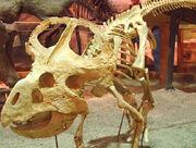 Protoceratops-skeleton