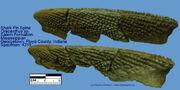 Oracanthus-sp spine1