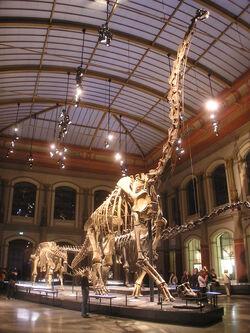 Naturkundemuseum Brachiosaurus brancai