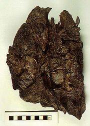 Crassigyrinus skull1