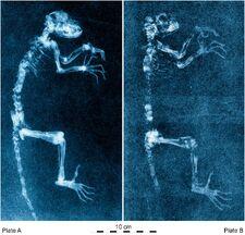 Darwinius radiographs