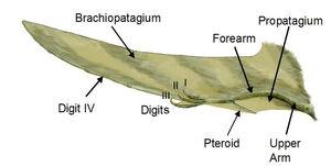 Pterosaur wing BW2