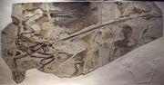 MicroraptorGui-PaleozoologicalMuseumOfChina-May23-08