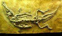 Crocodilaemus robustus