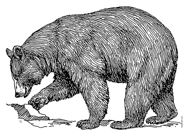 File:Black bear (PSF).png