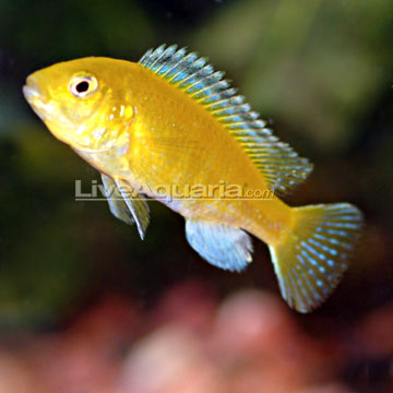 The Electric Yellow Cichlid is Yellow Cichlid