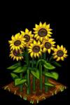 Sunflower fruit