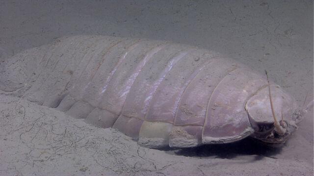 File:Callistonian Isopod 2.jpeg