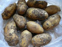 Charlotte Potatoes
