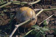 Pumpkin Plectosporium Blight