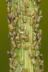 Aphids feeding on fennel