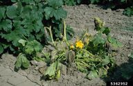 Courgette Bacterial Wilt 2