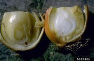 Onion Center Rot Erwinia Ananas