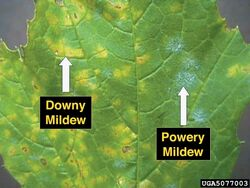 Grape Downy Powdery Mildew