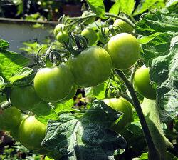 Tomato Moneymaker Unripe
