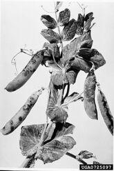 Pea Bacterial Blight Pseudomonas syringae pv. pisi