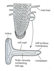 Root hair diagram