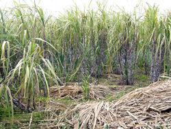 Sugar cane madeira hg