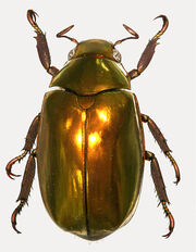 Golden Jewel Scarab
