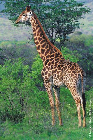 File:Giraffe3.jpg