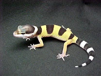 File:Baby leopard gecko2.jpg
