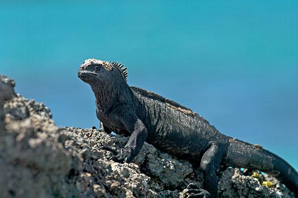 File:12050133PD marine iguana.jpg