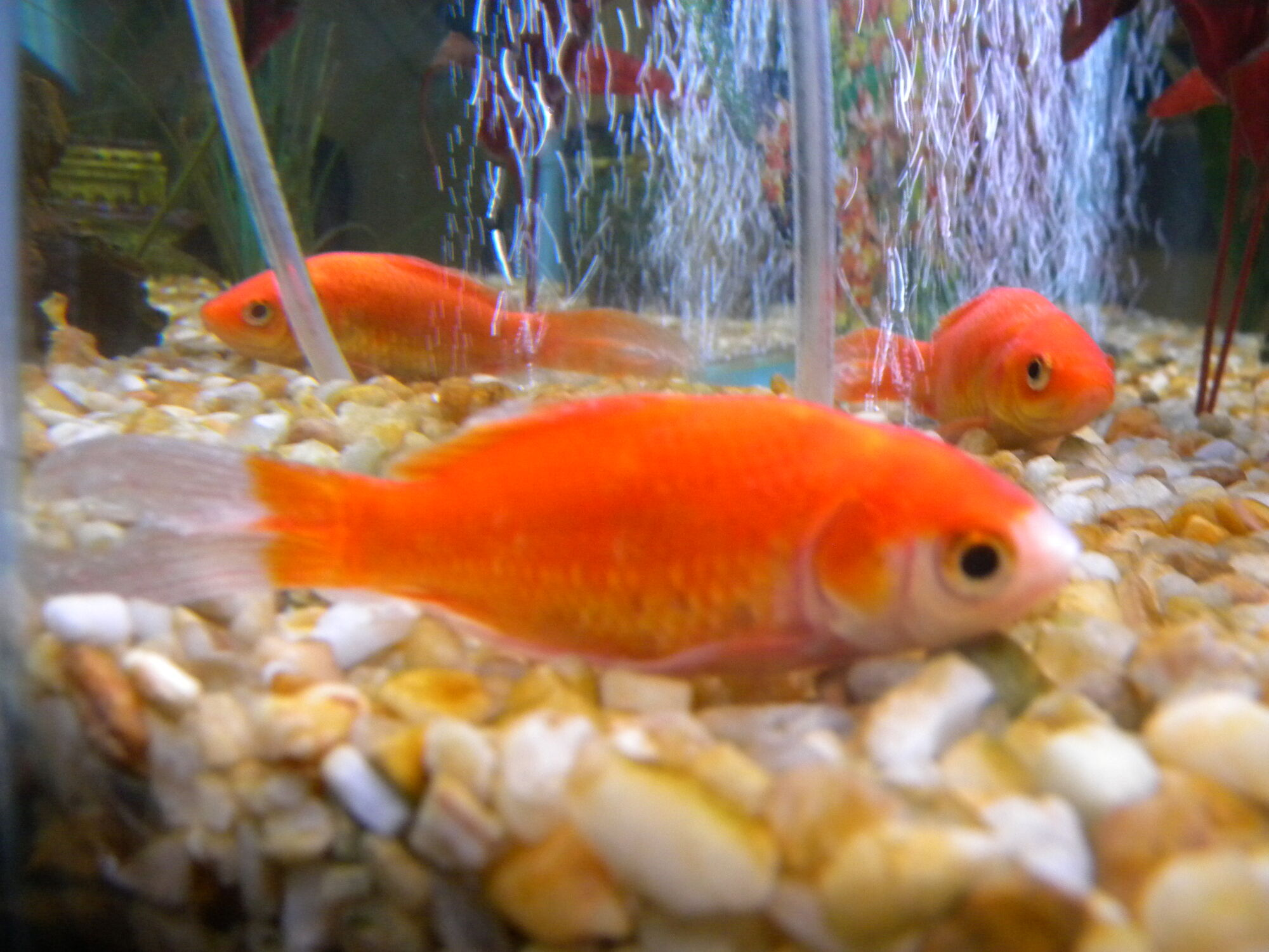 Ich goldfish wiki fandom powered by wikia for Fish disease ick