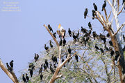 Painted Stork and Cormorants