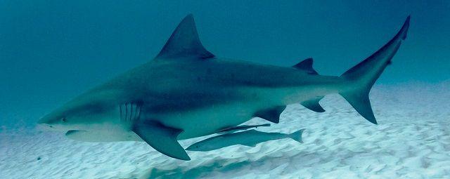 File:Bull-Shark.jpg