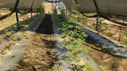 Weed-GTAV-BraddockFarm