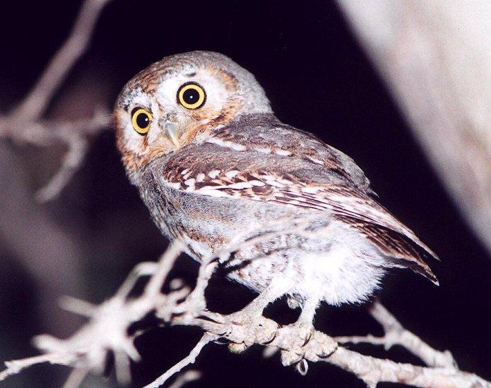 Category:Elf Owls | Guardians of Ga'Hoole Wiki | Fandom powered by ...