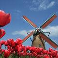 Red tulips-245.jpg