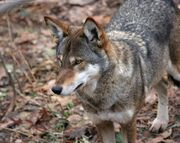 754px-Canis rufus 2 - Syracuse Zoo