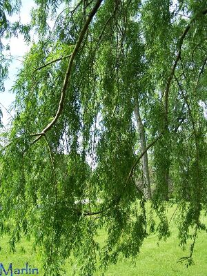 Golden weeping willow foliage1