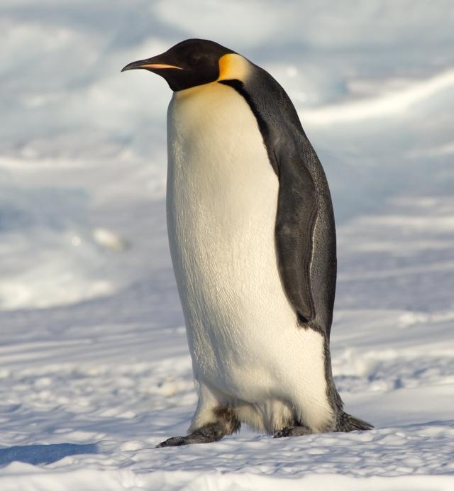 Emperor Penguin | Happy Feet Wiki | Fandom powered by Wikia