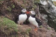 Fratercula arctica -Skomer Island, Wales -two-8