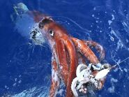 A giant squid attacking a bait squid