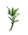 Knotgrass.png