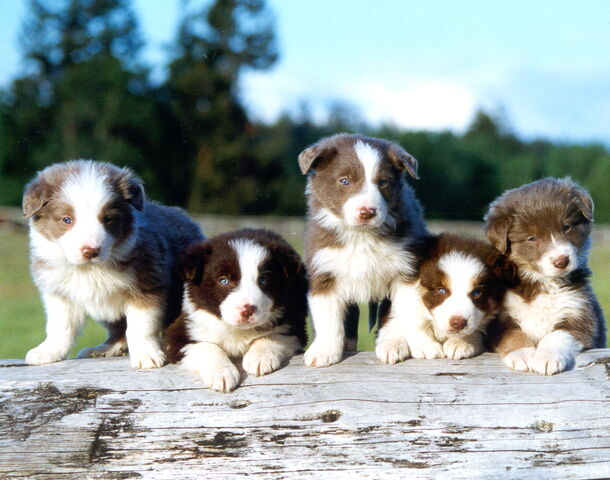 File:Border Collie pups.jpg
