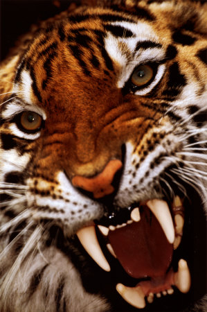 File:Bengal-tiger-close-up.jpg