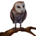 Barn Owl PM.png