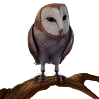Barn Owl PM