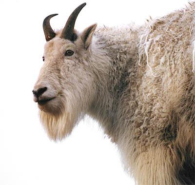 File:Goat2.jpg
