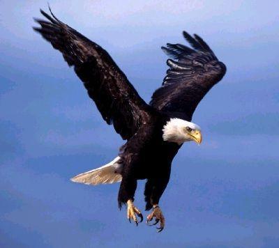File:BirdEagle.jpg