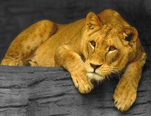 Lioness, Olomouc