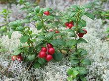 220px-Vaccinium vitis-idaea 20060824 003