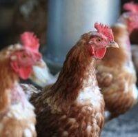 1092092 free range hens