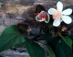 Flor del Achiote (Bixa orellana L.)Foto: Mark W. Skinner @ USDA-NRCS PLANTS Database