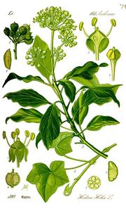 Thome-Illustration Hedera helix correjida.jpg
