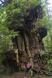 Big Cedar Tree, (tiny girl) Olympic National Park
